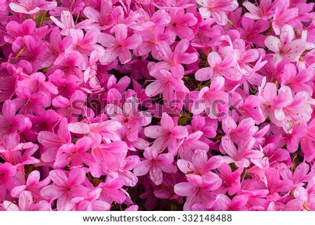 blooming rhododendron flowers - stock photo