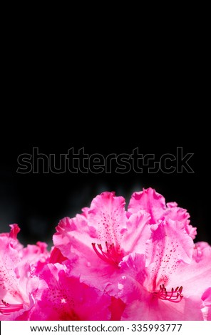 blooming rhododendron on the black background