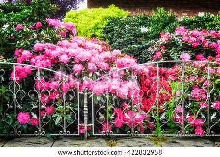 Blooming rhododendron with pink flowers behind fence in spring garden. Springtime background. Focus on foreground - stock photo
