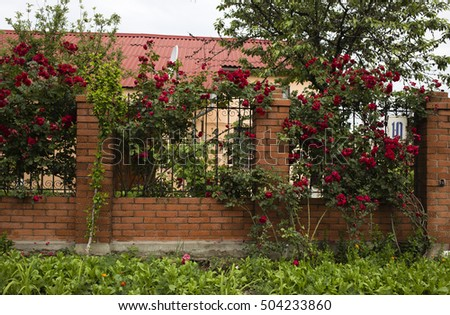 Blooming rose bush. There is a blooming rose brush and a metal fence.