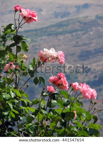 Blooming roses and buds on a bush in the mountain - stock photo