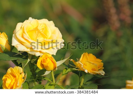 Blooming roses (Rosa) in a garden - stock photo