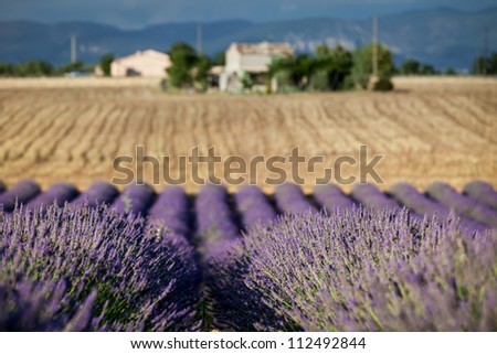 Blooming rows of lavender, Plateau of Valensole, Provence, France - stock photo
