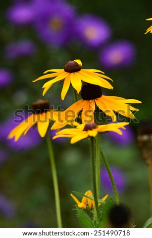 Blooming Rudbeckia hirta - stock photo