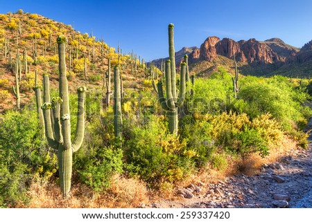 Blooming Saguaros and Palo Verde's in Hewitt Canyon. - stock photo