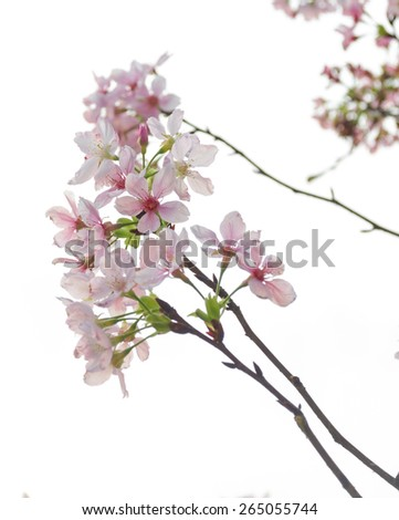 Blooming sakura - stock photo