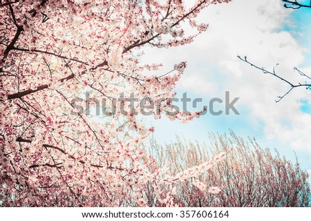 Blooming sakura tree on sky background in garden or park. Spring nature. - stock photo