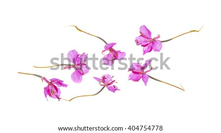 blooming sally (Epilobium angustifolium); - stock photo