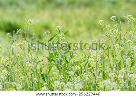 Blooming shepherd's purse close up on a background of green lawn in spring day. The background is blurred - stock photo