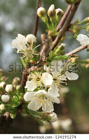 Blooming sour cherry tree - stock photo