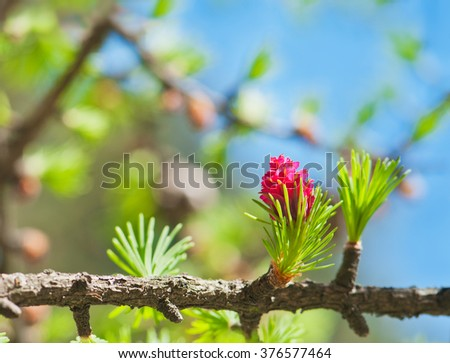 Blooming spring branch of a larch close-up. - stock photo