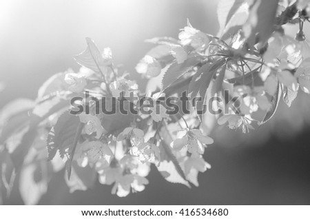blooming spring flowers in the sun with a sprig of cherry black and white noise - stock photo