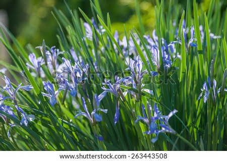Blooming spring garden iris flowers - stock photo