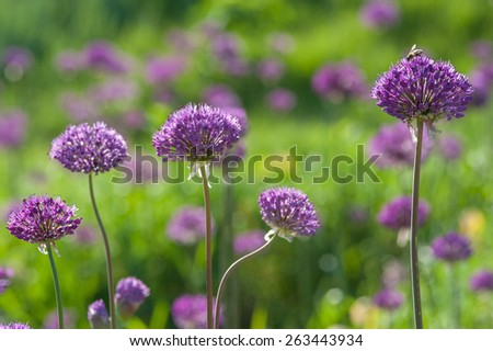 Blooming spring meadow purple lilac allium flowers