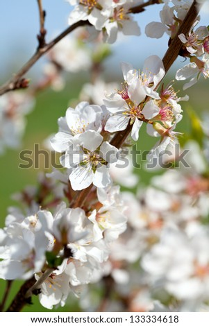 blooming spring trees - stock photo