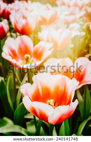 Blooming spring tulips. Closeup shot  - stock photo