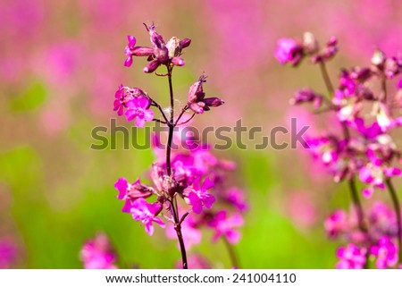 Blooming sticky catchflies (Silene viscaria). Close up. - stock photo