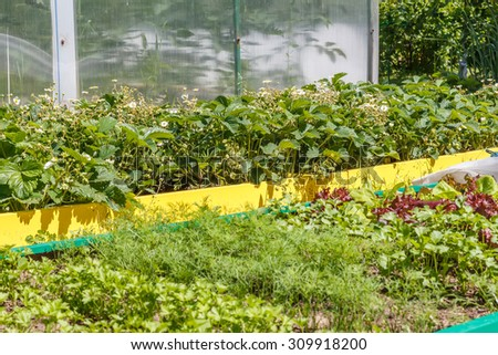Blooming strawberry bushes in the vegetable garden. Household plot. Dacha. - stock photo