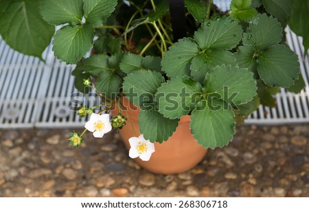 Blooming Strawberry Plant - stock photo