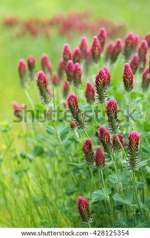 Blooming summer meadow of crimson clover flowers. (Trifolium incarnatum). Selective focus.   - stock photo