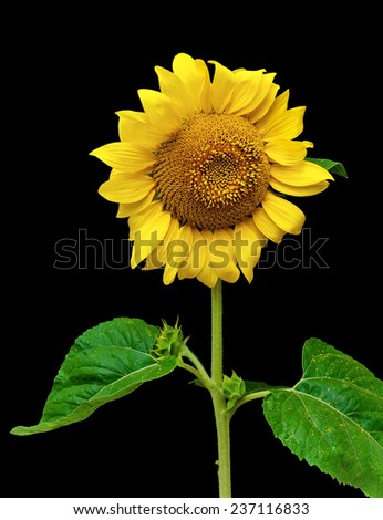 blooming sunflower isolated on a black background. vertical photo.