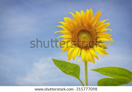 Blooming sunflower on sky background.