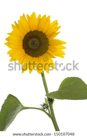 Blooming sunflower on white background