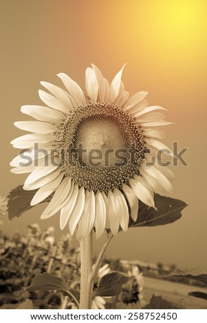 Blooming sunflower. Vintage filter. - stock photo