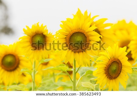 Blooming sunflowers field