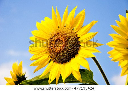 Blooming sunflowers on a background of blue sky. Beautiful sunflowers. Yellow flowers.