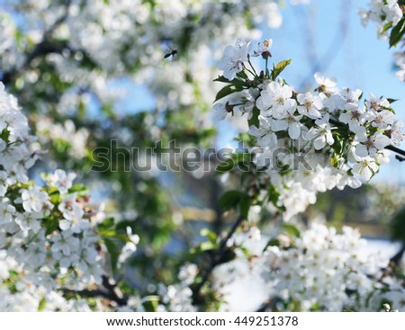 Blooming tender white cherry tree on the blue sky background - stock photo