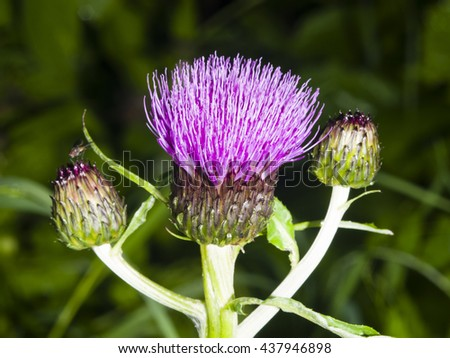 Blooming Thistle, Carduus, flower and buds macro with dark bokeh background, selective focus, shallow DOF - stock photo