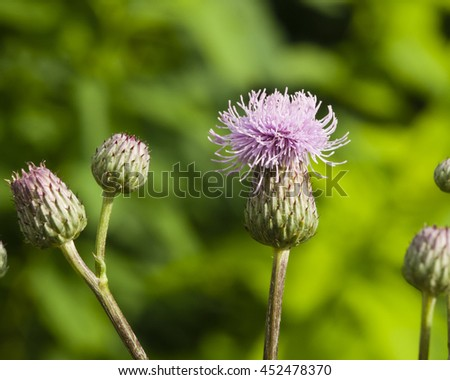 Blooming Thistle, Cirsium arvense, flower with bokeh background macro, selective focus, shallow DOF - stock photo