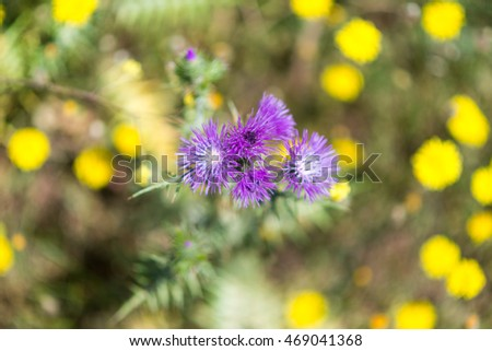 Blooming thistle on a wildflower meadow in the south of Crete in April. The meadow, full of blooming flowers, is a habitat for all the insects, butterflies, bumblebees in the mountains