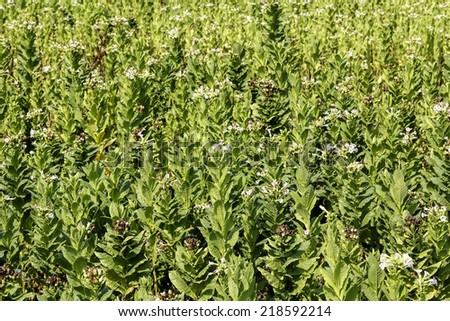 blooming tobacco plants in tobacco field - stock photo