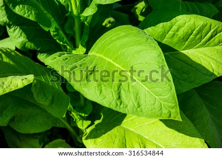 Blooming tobacco plants with leaves - stock photo