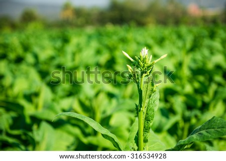 Blooming tobacco plants with leaves, flowers and buds - stock photo