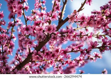 Blooming tree at spring, fresh pink flowers on the branch of fruit tree, plant blossom abstract background, seasonal nature beauty, dreamy soft focus picture - stock photo