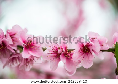 Blooming tree branch in spring with blurred background - stock photo