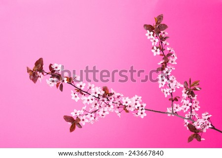 Blooming tree branch on gradient pink background - stock photo