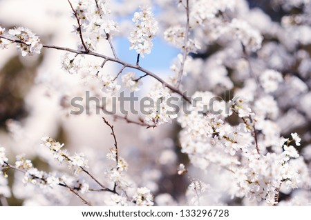 Blooming tree branch with little white flowers - stock photo