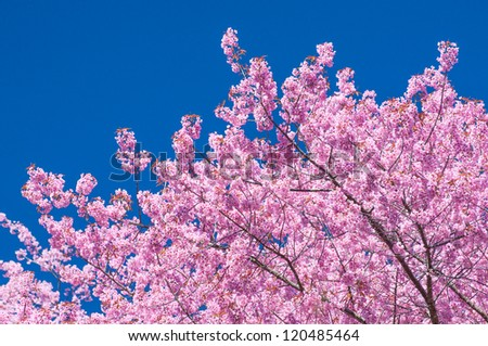 Blooming tree in spring with pink flowers with the blue sky - stock photo