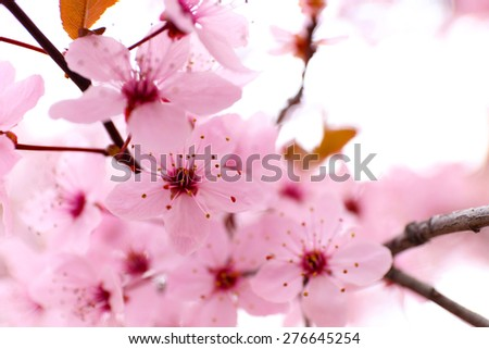 Blooming tree twigs with pink flowers in spring close up - stock photo