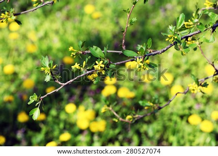 Blooming tree twigs with yellow flowers in spring - stock photo