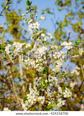 Blooming tree with white flowers. Spring flowers background - stock photo