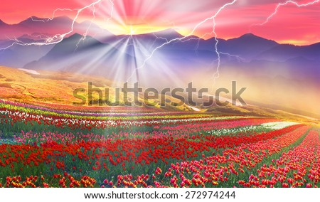 Blooming tulips field on a background of wild mountain spring. Strong storm and dangerous storm looks beautiful picturesque, but threatens crops and spectators. Sunset red- will be a breeze. - stock photo