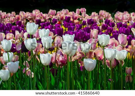 Blooming tulips on the field - stock photo