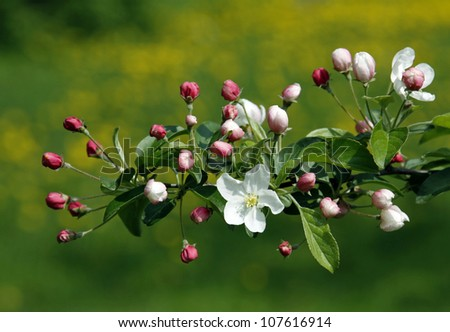 Blooming twig of a fruit tree - stock photo