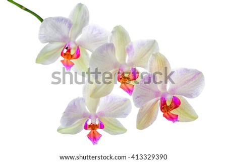 blooming twig of orange striped orchid, phalaenopsis is isolated on white background, close up - stock photo