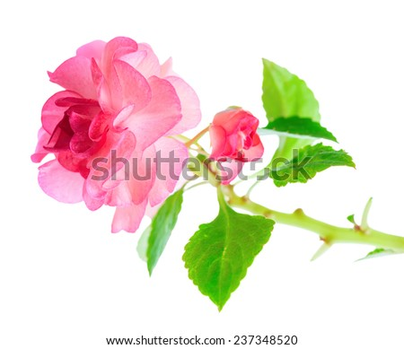 blooming twig of pink Impatiens flowers  is isolated on white background, closeup  - stock photo